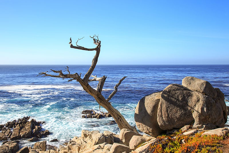 Ghost Tree on 17-Mile Drive near Monterey, CA