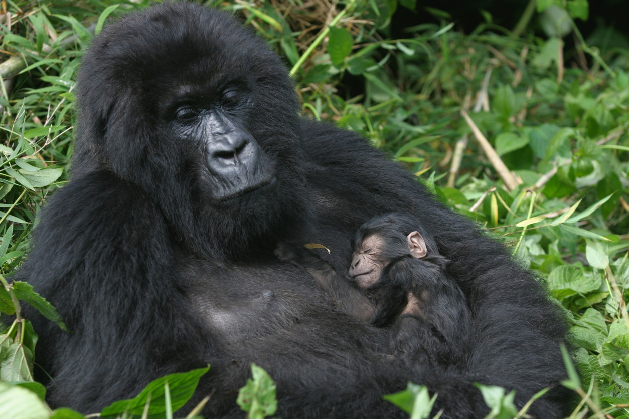 Mountain gorillas of Africa - Africa's National Parks