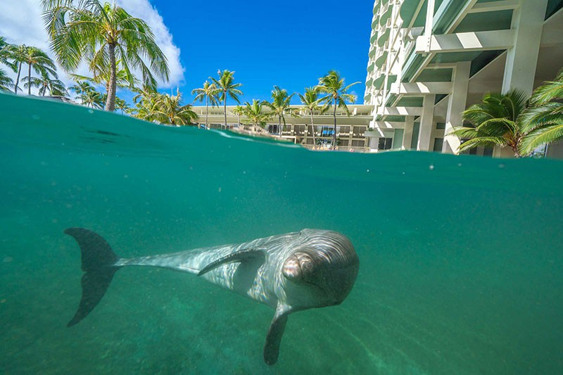 Dolphins at the Kahala Hotel and Resort