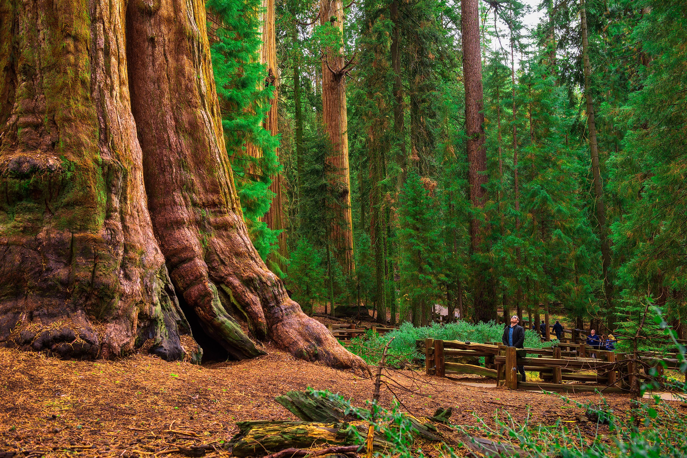 Giant Sequoias in National Park